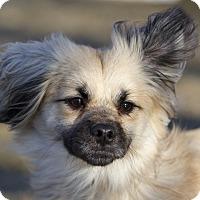 Adopt A Pet :: Spock - Ile-Perrot, QC