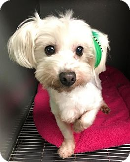 Maltese/Toy Poodle Mix Dog for adoption in Costa Mesa, California - Holly