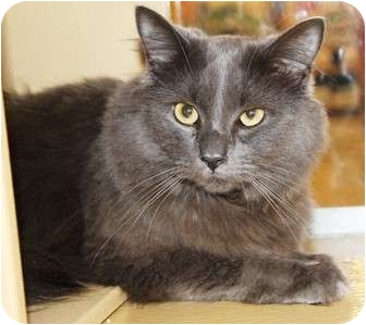 Domestic Longhair Cat for adoption in Nolensville, Tennessee - Smokey
