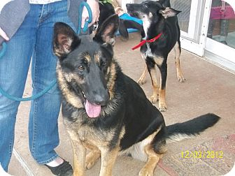 German Shepherd Dog Dog for adoption in Greeneville, Tennessee - Akita