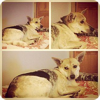 Shepherd (Unknown Type) Mix Dog for adoption in Manhasset, New York - Jane