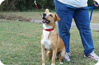 Basenji/Corgi Mix Dog for adoption in Sumter, South Carolina - KENNEL #7