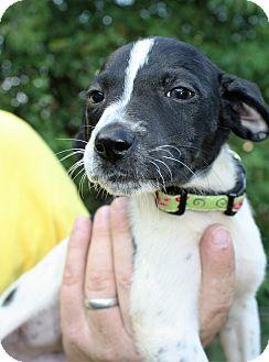 Labrador Retriever Mix Puppy for adoption in Hayes, Virginia - Roxy Girl 4