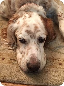 English Setter/Setter (Unknown Type) Mix Dog for adoption in Wood Dale, Illinois - Parker