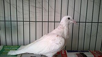 Dove for adoption in Aurora, Illinois - Cas