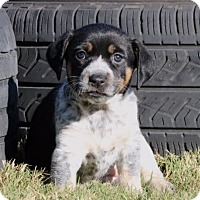 Adopt A Pet :: Chevelle - Austin, TX