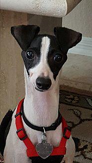 Italian Greyhound Dog for adoption in Argyle, Texas - Ashton (Ash) in Houston area