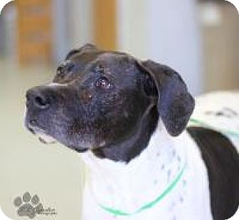 German Shorthaired Pointer Mix Dog for adoption in Yukon, Oklahoma - Nick