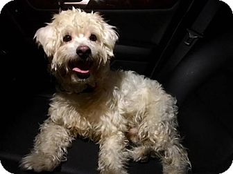 Poodle adoption pittsburgh