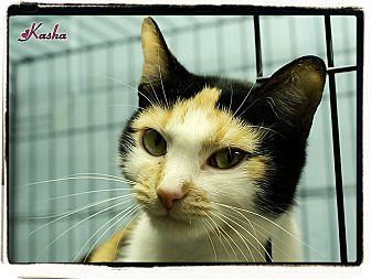 Domestic Shorthair Cat for adoption in Elmwood Park, New Jersey - Kasha