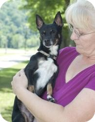 Manchester Terrier/Chihuahua Mix Dog for adoption in New Martinsville, West Virginia - Pawko