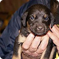 Adopt A Pet :: Sasha aka Stella 3 - Conway, AR