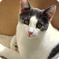 Domestic Shorthair Cat for adoption in Dallas, Texas - Pretzel