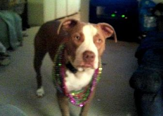 Pit Bull Terrier Mix Dog for adoption in Denton, Texas - Dozer