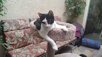 Domestic Shorthair Kitten for adoption in Chino, California - Kadee
