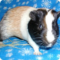 Adopt A Pet :: Chubby - Steger, IL