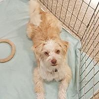 Adopt A Pet :: Kringle- Adoption pending - Yorba Linda, CA