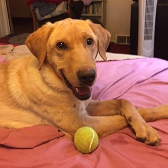 Labrador Retriever Mix Dog for adoption in Minnetonka, Minnesota - Finnbar