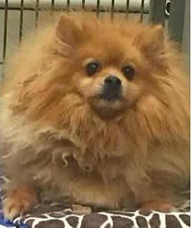 Pomeranian Dog for adoption in Irvine, California - Snapple
