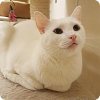 Domestic Shorthair Cat for adoption in Fresno, California - Stardust