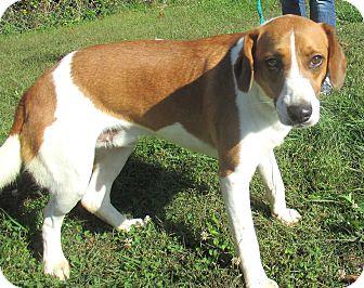 Hound (Unknown Type) Mix Dog for adoption in Reeds Spring, Missouri - Roy
