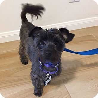 Shih Tzu/Terrier (Unknown Type, Small) Mix Dog for adoption in Redondo Beach, California - Brandy