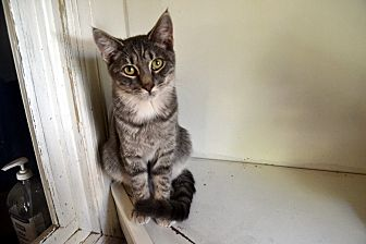 Domestic Mediumhair Cat for adoption in Broadway, New Jersey - Vancouver