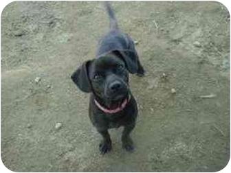 Dachshund/Beagle Mix Dog for adoption in Clovis, California - Snoopy