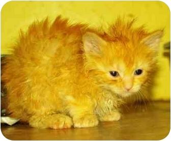 American Shorthair Kitten for adoption in Witter, Arkansas - TOTO