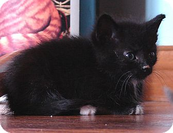 Domestic Mediumhair Kitten for adoption in Florence, Kentucky - Liam