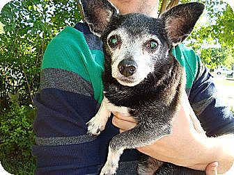 Chihuahua Mix Dog for adoption in Carrollton, Texas - Mikey