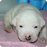 Adopt A Pet :: Baby Girl 1 - Westfield, IN