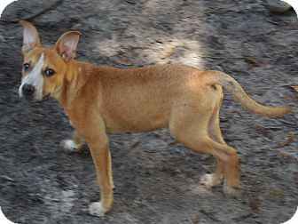 Terrier (Unknown Type, Small) Mix Dog for adoption in Old Town, Florida - Tommy