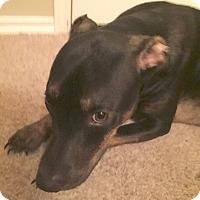 Labrador Retriever/Miniature Pinscher Mix Dog for adoption in Yukon, Oklahoma - Brody