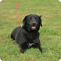 Labrador Retriever/Border Collie Mix Dog for adoption in Cleveland, Texas - Velma