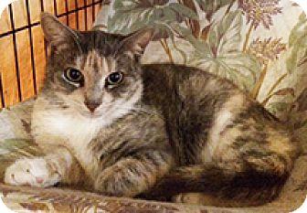 Calico Kitten for adoption in Metairie, Louisiana - Molly