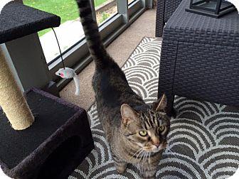 Domestic Shorthair Cat for adoption in New Kensington, Pennsylvania - Jojo and Bella