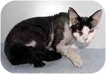 Devon Rex Cat for adoption in Scottsdale, Arizona - Minime