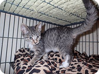 Domestic Shorthair Kitten for adoption in North Wilkesboro, North Carolina - Jupiter