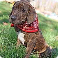 Adopt A Pet :: Moe - Spring Valley, NY