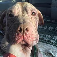 Adopt A Pet :: Templeton (Acc) - Whitestone, NY