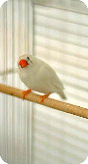 Finch for adoption in Lenexa, Kansas - Snowball