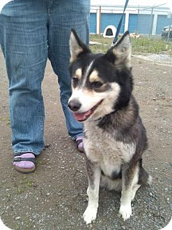 Australian Shepherd/Husky Mix Dog for adoption in Seattle, Washington - Zeke
