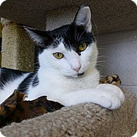Domestic Shorthair Cat for adoption in Grayslake, Illinois - Adriel