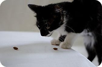 Domestic Mediumhair Kitten for adoption in Jefferson, North Carolina - Barnabus
