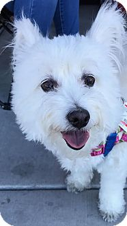 Poodle (Miniature) Mix Dog for adoption in Las Vegas, Nevada - Boomer