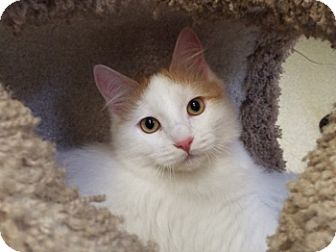 Domestic Longhair Cat for adoption in Grants Pass, Oregon - LaVerne
