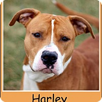 Pit Bull Terrier Mix Dog for adoption in Sullivan, Indiana - Harley