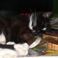 Domestic Shorthair Cat for adoption in Benton, Pennsylvania - Momma