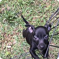 Adopt A Pet :: Aladdin - Garner, NC